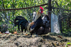 Golden Phoenix rooster on the traditional rural farmyard. Free range poultry farming Royalty Free Stock Photo