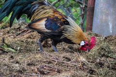 Golden Phoenix rooster on the traditional rural farmyard. Free range poultry farming Royalty Free Stock Photos