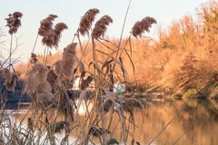 Golden Phragmites next to the River. In a Sunny day in Italy royalty free stock photo