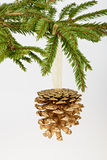 Golden pine cone on conifer branch. On white background royalty free stock image