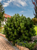 Golden pine growing in the garden Stock Photography