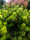 Golden pine growing in the garden Royalty Free Stock Photography
