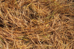 Golden pine needles on the ground Stock Images