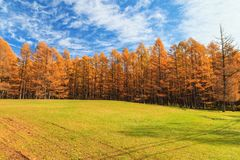 Golden pine tree forest in autumn season, Nikko, Japan. With blue sky Stock Images