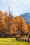 Golden pine tree forest in autumn season, Nikko, Japan. With blue sky Stock Photography