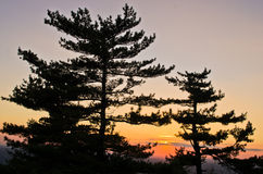 Golden pine tree forest at sunset near Belgrade Stock Image