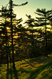 Golden pine tree forest at sunset near Belgrade Stock Photography
