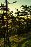 Golden pine tree forest at sunset near Belgrade Stock Photography