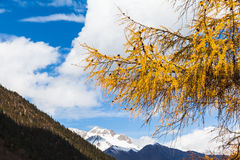 Golden Pine Tree in Huanglong National Park Royalty Free Stock Images