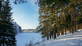 Golden pine trees on the banks of the river in winter Royalty Free Stock Photography