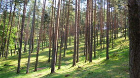 Golden pines Royalty Free Stock Images