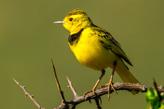 Golden Pipit Stock Photography