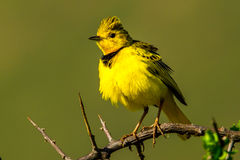 Golden Pipit Stock Images