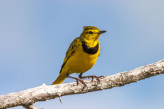 Golden Pipit Royalty Free Stock Photo