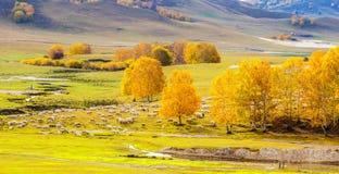 Golden plain,Silver birch,Flock of sheep stock images