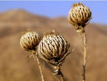 Golden plant. Golden prickly plant in the summer royalty free stock photos