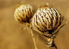 Golden plant. Golden prickly plant in the summer royalty free stock photography