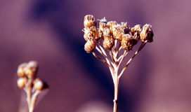 Golden plant. Golden prickly plant in the summer royalty free stock image