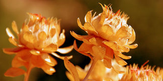 Golden plant. In the summer stock image