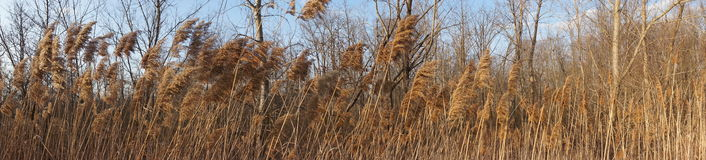 Golden plants blowing in wind very wide panoramic Stock Image
