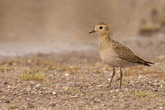 Golden Plover Stock Photography