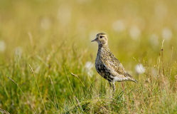 Golden Plover. In a green background Stock Photos