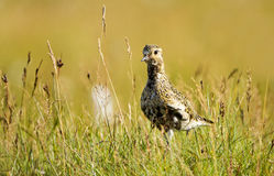 Golden Plover Royalty Free Stock Images