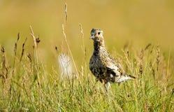 Golden Plover. Eurasian Golden Plover, Pluvialis apricaria Royalty Free Stock Images