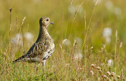 Golden Plover Royalty Free Stock Photos