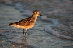 Golden Plover. A portrait of a golden plover Royalty Free Stock Photography