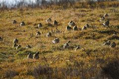 Golden Plover gathering. Royalty Free Stock Images