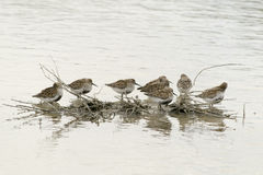 Golden plover migration. Golden plover on the river Royalty Free Stock Photography