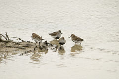 Golden plover migration. Golden plover in the river Stock Image