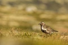 Golden plover Norway. This is a photo of a European golden plover in Dovrefjell National park in Norway royalty free stock image