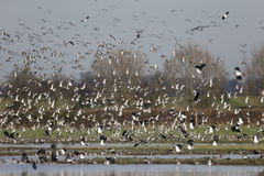 Golden plover, Pluvialis apricaria Royalty Free Stock Image