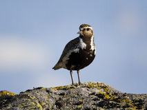 Golden plover watching camera Royalty Free Stock Photo