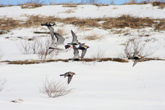 Golden Plovers and Oystercatcher. Flock of Golden Plovers and Oystercatcher in flight. Pluvialis apricaria and Haematopus ostralegus Royalty Free Stock Photo