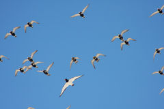 Golden Plovers and Oystercatcher Stock Photo