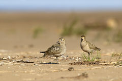 Golden plovers Royalty Free Stock Image