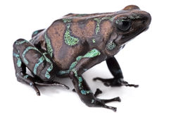 Golden poison dart frog Stock Photography
