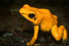 Golden Poison Dart Frog Stock Photo