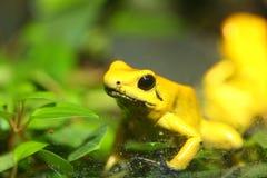 Golden poison frog. (Phyllobates terribilis Royalty Free Stock Photo