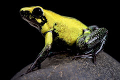 Golden poison frog (Phyllobates terribilis) Stock Photography