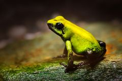 Golden Poison Frog, Phyllobates terribilis, yellow poison frog in tropic nature. Small Amazon frog in nature habitat. Wildlife sce. Ne from tropic jungle royalty free stock photos