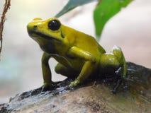 Golden poison frog. On stone Stock Image