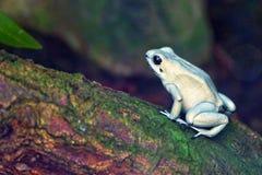 Golden Poison Frog. On a tree limb stock photo