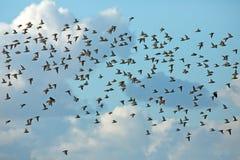 Golden polver. A swarm of golden plover birds Royalty Free Stock Photography