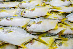 Golden Pompano. Displayed chilled on ice Stock Image