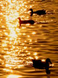 On golden pond. Some ducks floating around freely, enjoying the last sun rays of the day stock photography