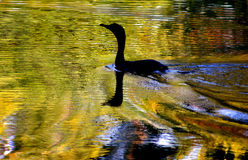 Golden pond. Bird swimming across a golden pond Royalty Free Stock Image